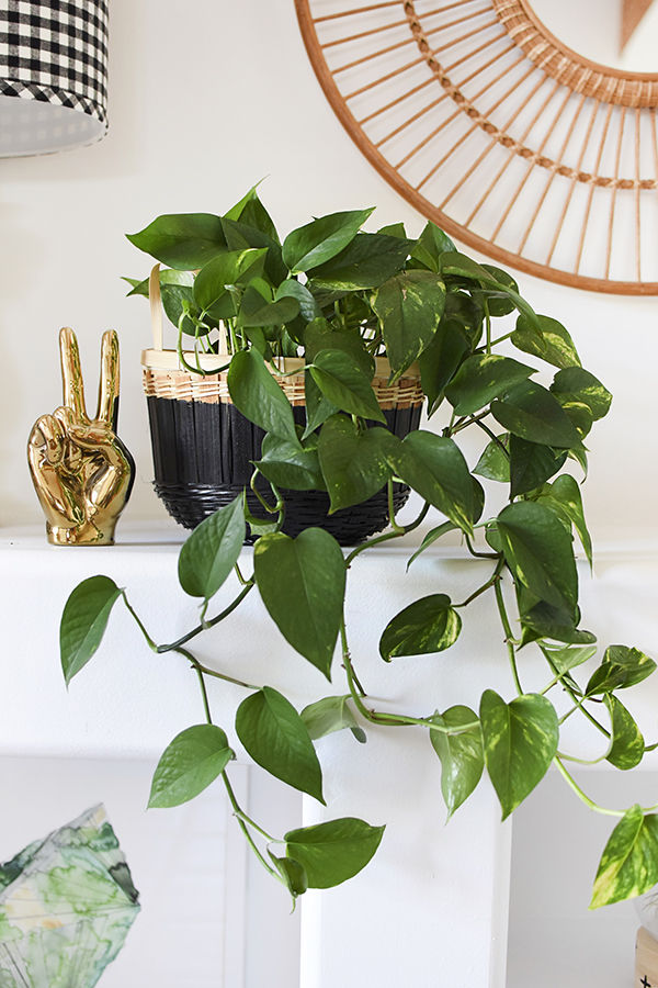 Low Light - Pothos