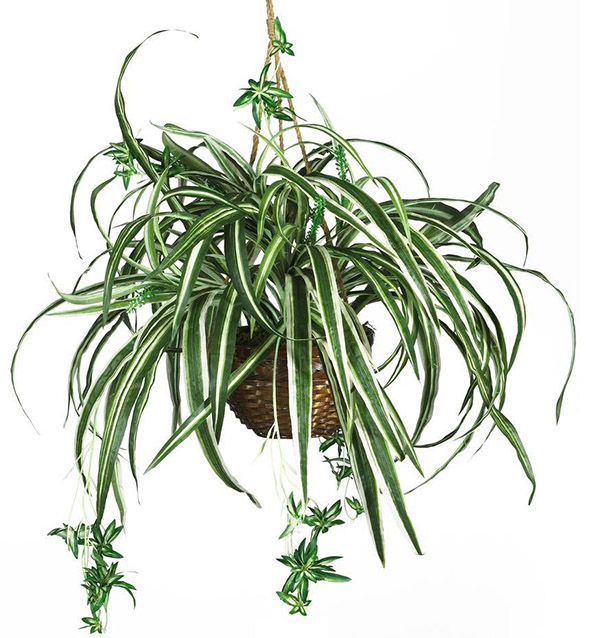 Low Light - Spider Plant