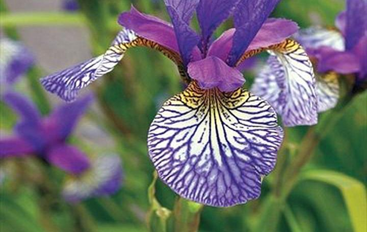 How to plat Iris bulbs